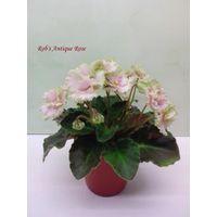 Фиалка Rob's Antique Rose полумини - лист