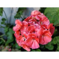 Пеларгония по 4 рубля за одно растение