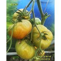 Семена томата Harvard Square