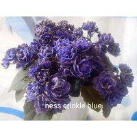 Фиалка Ness chinkie blue
