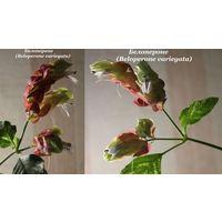 Белопероне (Beloperone variegata)