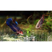 Живой корм для аквариумных рыб (аулофорус, гриндальский червь, нематода)