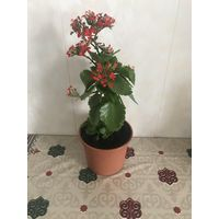 Каланхоэ каландива цветущая с фото район пл.Бангалор