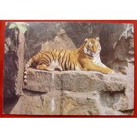 Тигр. Чистая. 1989 года. 689.