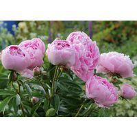 Пион розовый (большая деленка)