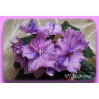 Фиалка ЯН Маришка - взрослое растение.