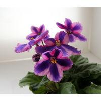 Фиалка -химера Паркер,по сорту, растение с фото.