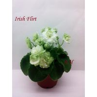 Фиалка Irish Flirt полумини - крупная детка (фото в лоте)