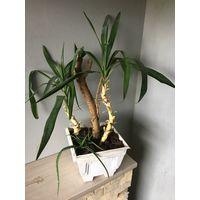 Две юкки и алоэ композиция из двух видов растений в просторном горшке Юкка пальма