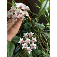 Хойя Белла взрослое растение в красивом фарфором горшке и с бамбуковой опорой для веток