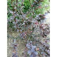 Барбарис - многолетний кустарник с красивыми листьями.