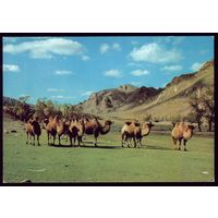 Монголия Верблюды