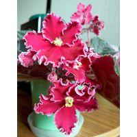 Фиалка цветущая (на фото)