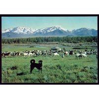 Монголия Охранники баранов