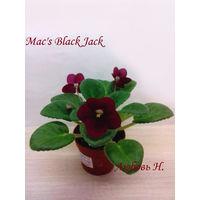 Фиалка полумини Mac's Black Jack- розетка (фото в лоте)