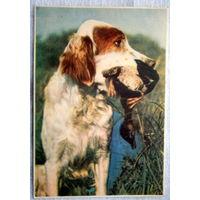 Собака с добычей 1956 год