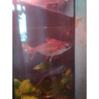 Аквариумная рыба Акулий сом